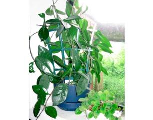 Hoya en pot - Feuillage