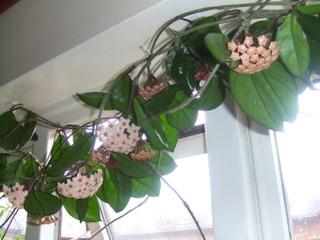 Hoya carnosa grimpant devant une fenêtre