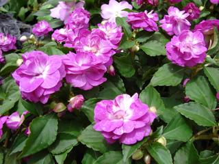 Impatiens walleriana à fleurs doubles