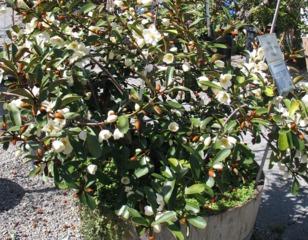 Michelia yunnanensis en pot