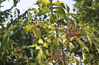 Poivrier de Sichuan (Zanthoxylum piperitum)