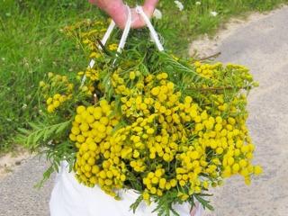 Récolte de tanaisie en fleurs