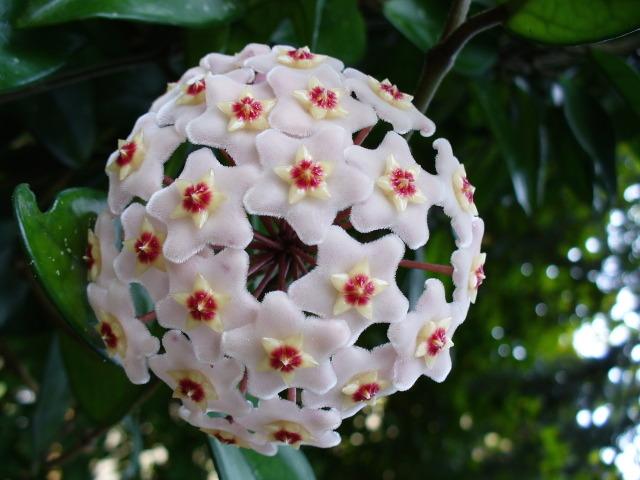 Hoya : cultivez la fleur de porcelaine