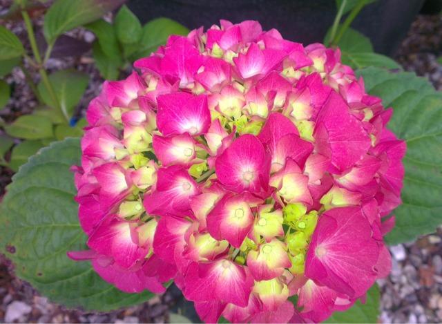 envoyés dans un 9 cm pot Hydrangea macrophylla /'King George/'
