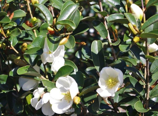 Michelia : plantation, culture et variétés