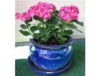 Cultiver un hortensia en pot