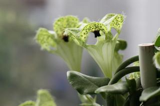 Ceropegia sandersonii - Fleurs