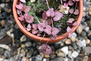 Ceropegia woodii à feuillage pourpre