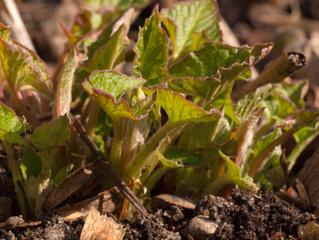 Jeunes feuilles de chénopode Bon-Henri (avril)