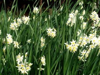 Narcisses (Narcissus tazetta)