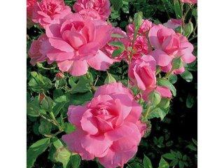 Rose 'Sylvie Vartan'® / D.R.