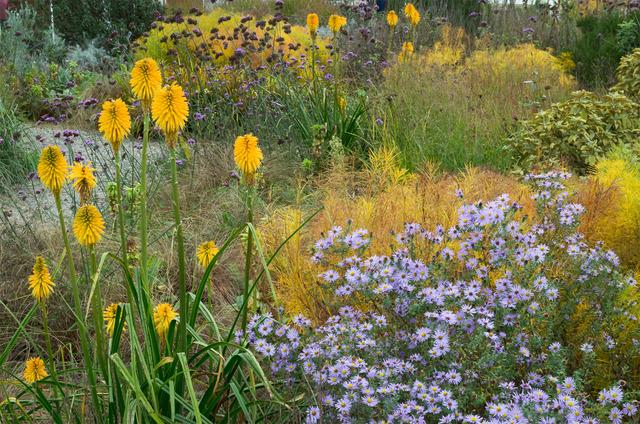 Jardin sec de fin d'été : kniphofia et asters