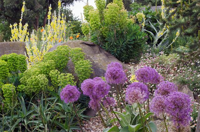Jardin sec - Ail d\'ornement et euphorbes (Jardins secs et rocailles)