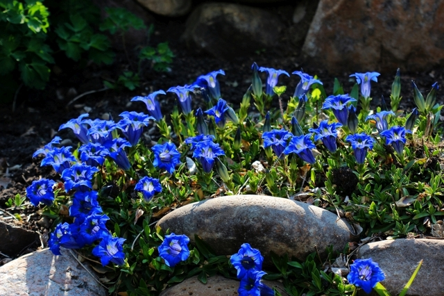 Gentiane bleue dans une rocaille