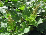 Chénopode : semis, culture et récolte