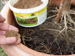 Ajout de mycorhizes au rempotage