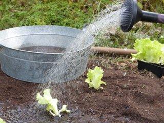 Arrosage en pluie des jeunes plants