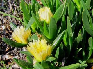 Carpobrotus edulis, fleurs jaune