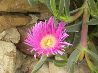 plante grasse griffe de sorciere
