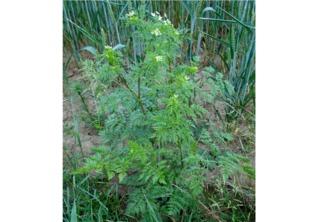 Cerfeuil tubéreux - Chaerophyllum bulbosum