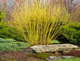 Arbres et arbustes à écorces décoratives : les plus belles écorces