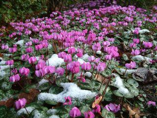 Cyclamen coum en hiver
