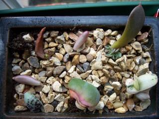 Bouture de feuilles d'echeveria et sedum