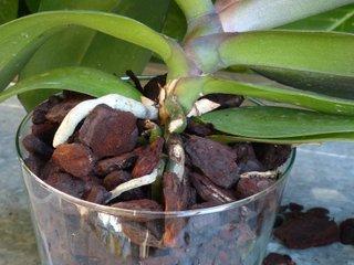 Ecorce de pin dans un pot d'orchidée