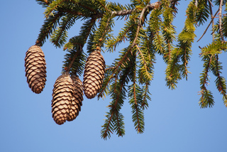 Cônes et aiguilles d'épicéa (Picea abies)