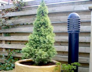 Epicéa nain en pot sur une terrasse