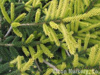 Epicéa (Picea orientalis 'Aureospicata')