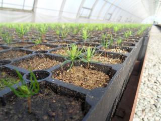 Semis de graines d'épicéa (Picea abies)