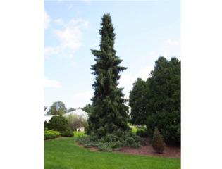 Epicéa de Serbie (Picea omorika)