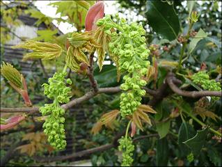 Erable sycomore : fleurs