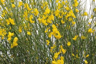 Spartium : fleurs et feuillage