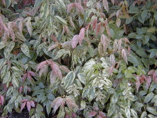 Leucothoe fontanesiana 'Rainbow'