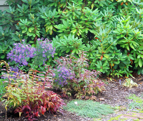 Leucothoe, asters et rhododendron