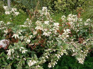 Leucothoe : plantation, culture et entretien