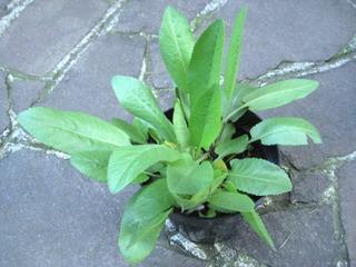 Jeune plant de menthe coq (Tanacetum balsamita)