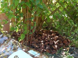 Paillage au pied d'un arbuste avec des écorces de pin