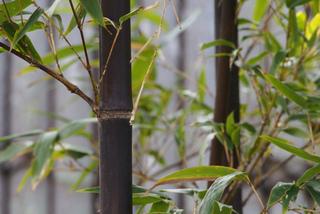 Phyllostachys nigra, bambou noir