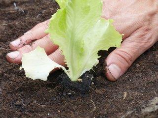 Plantation d'une salade en motte