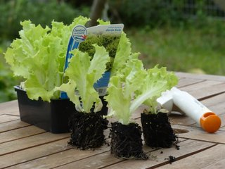 Plants de salade en mottes