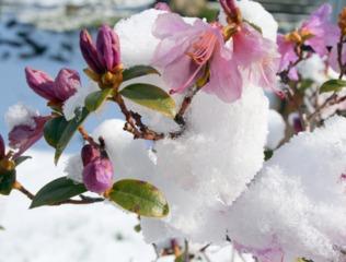Rhododendron sous la neige