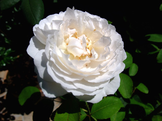 Rosier anglais 'Winchester Cathedral'