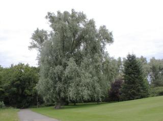 Salix alba 'Sericea'