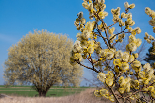 Salix caprea - Chatons