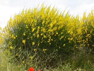 Spartium junceum, genêt d'Espagne