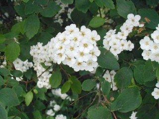 Spiraea x vanhouttei - fleurs & feuillage