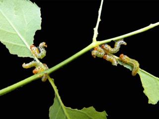 Feuilles de rosiers dévorées par des tenthrèdes